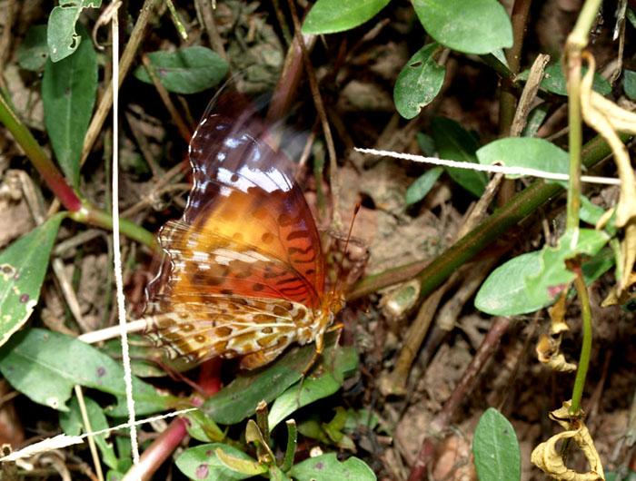 flatterfly